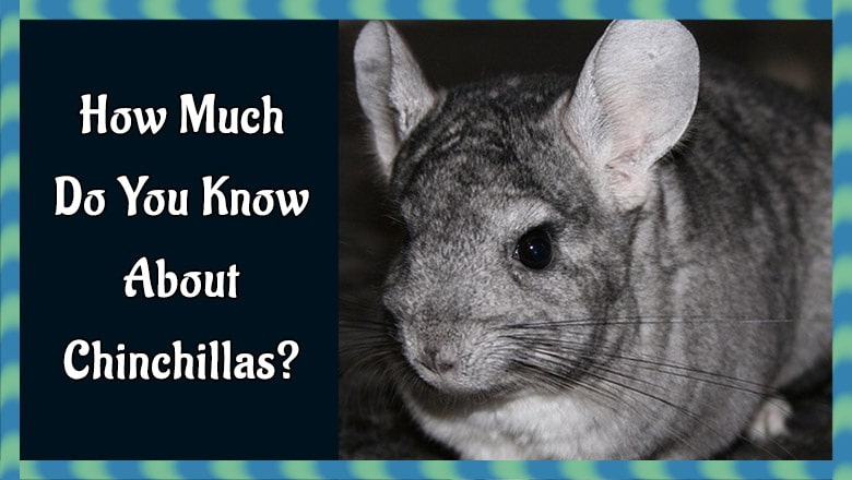 How Much Do You Know About Chinchillas?