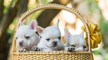 French Bulldog Name Generator